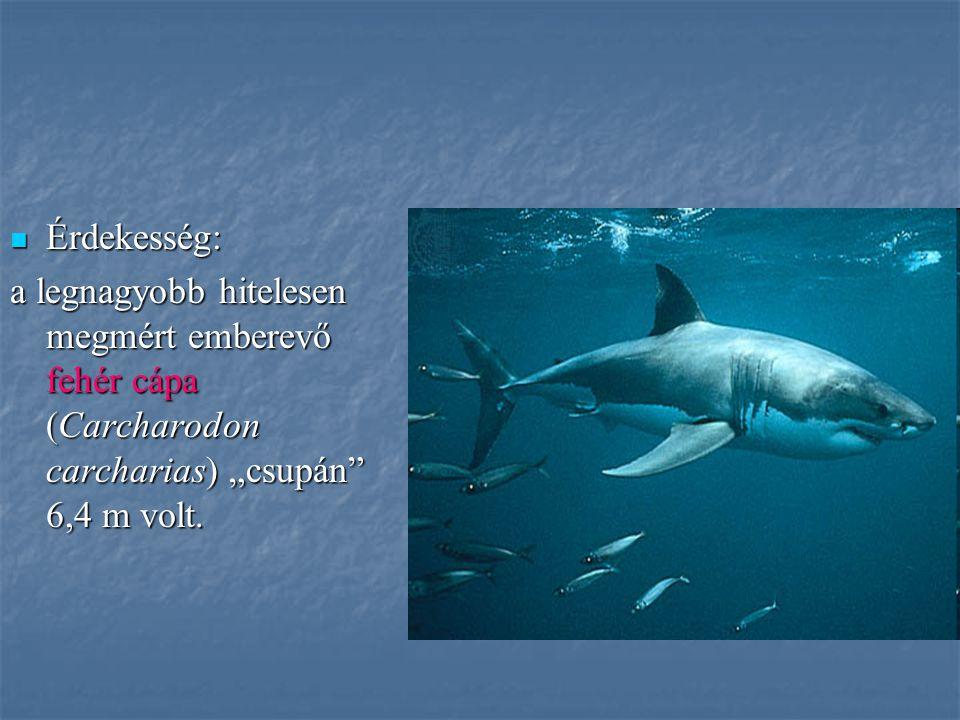 """Érdekesség: Érdekesség: a legnagyobb hitelesen megmért emberevő fehér cápa (Carcharodon carcharias) """"csupán"""" 6,4 m volt."""