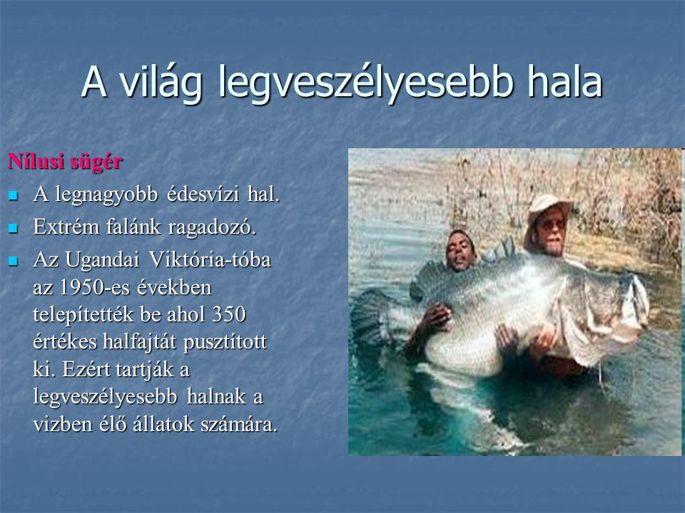 A világ legveszélyesebb hala Nílusi sügér A legnagyobb édesvízi hal. A legnagyobb édesvízi hal. Extrém falánk ragadozó. Extrém falánk ragadozó. Az Uga