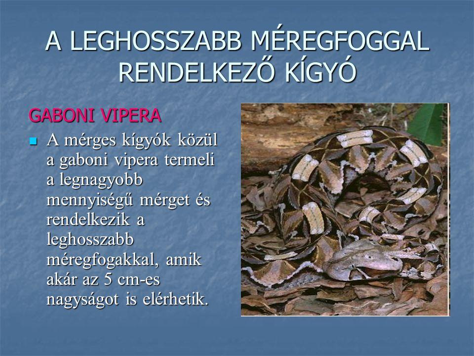 A LEGHOSSZABB MÉREGFOGGAL RENDELKEZŐ KĺGYÓ GABONI VIPERA A mérges kígyók közül a gaboni vipera termeli a legnagyobb mennyiségű mérget és rendelkezik a