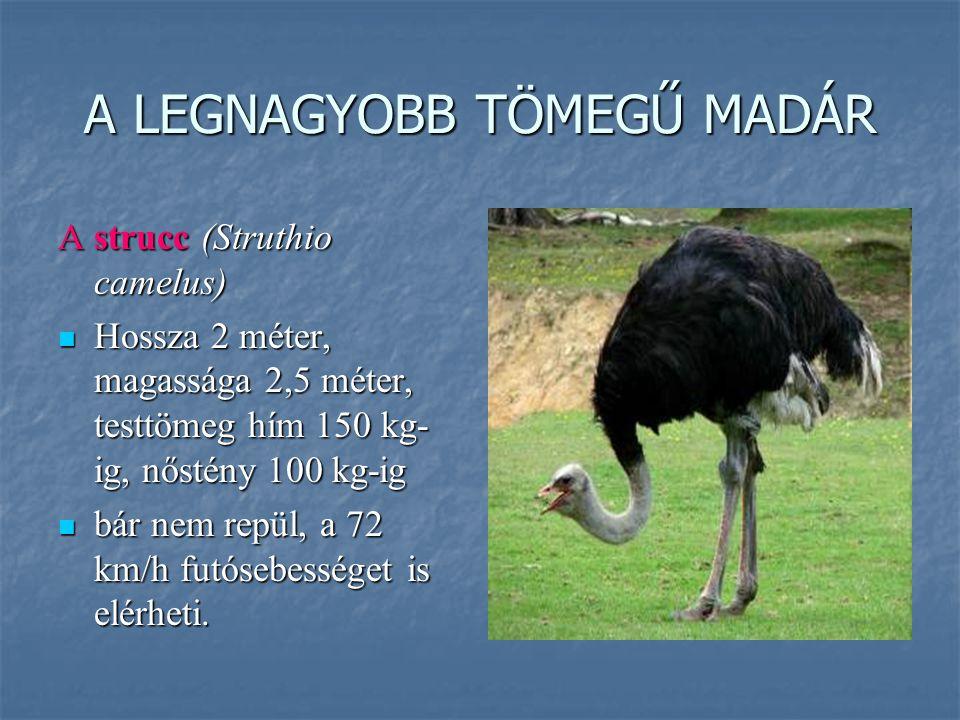 A LEGNAGYOBB TÖMEGŰ MADÁR A strucc (Struthio camelus) Hossza 2 méter, magassága 2,5 méter, testtömeg hím 150 kg- ig, nőstény 100 kg-ig Hossza 2 méter,