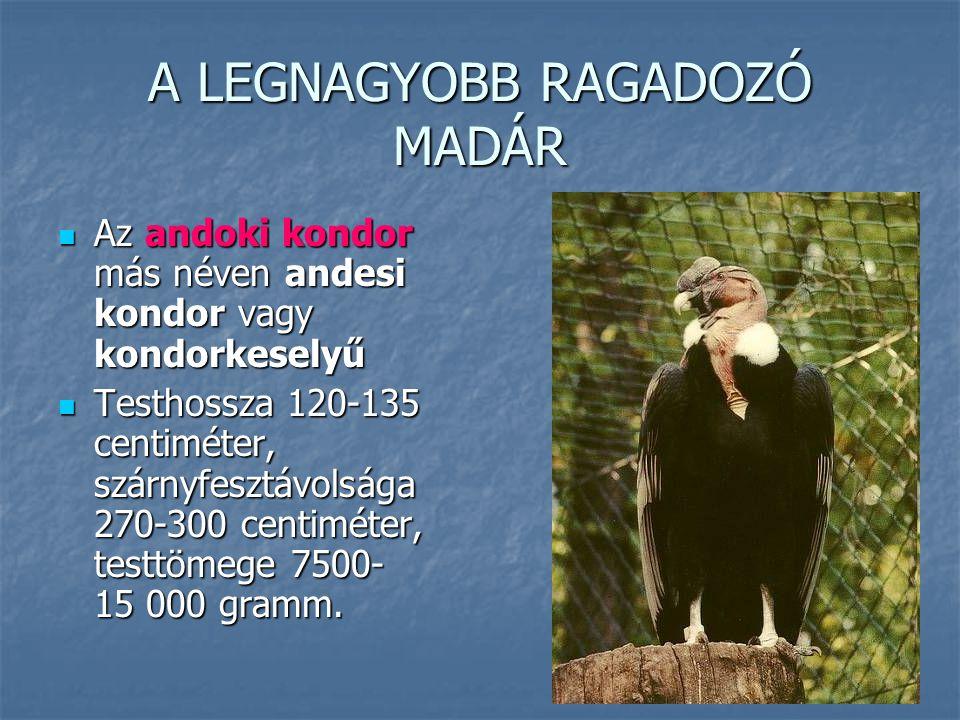 A LEGNAGYOBB RAGADOZÓ MADÁR Az andoki kondor más néven andesi kondor vagy kondorkeselyű Az andoki kondor más néven andesi kondor vagy kondorkeselyű Te