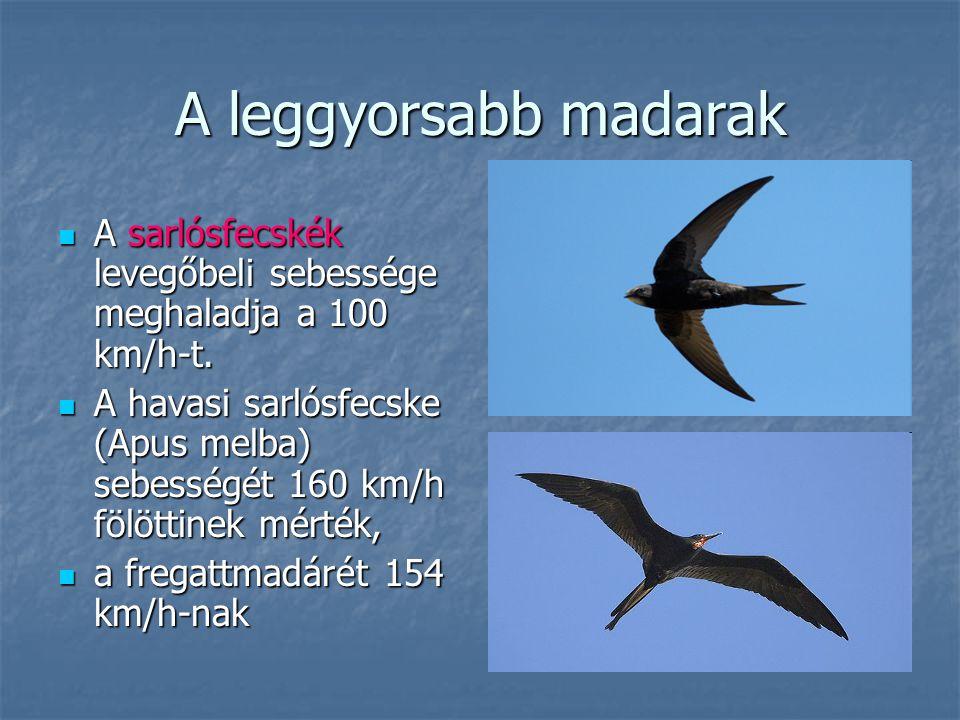 A leggyorsabb madarak A sarlósfecskék levegőbeli sebessége meghaladja a 100 km/h-t. A sarlósfecskék levegőbeli sebessége meghaladja a 100 km/h-t. A ha
