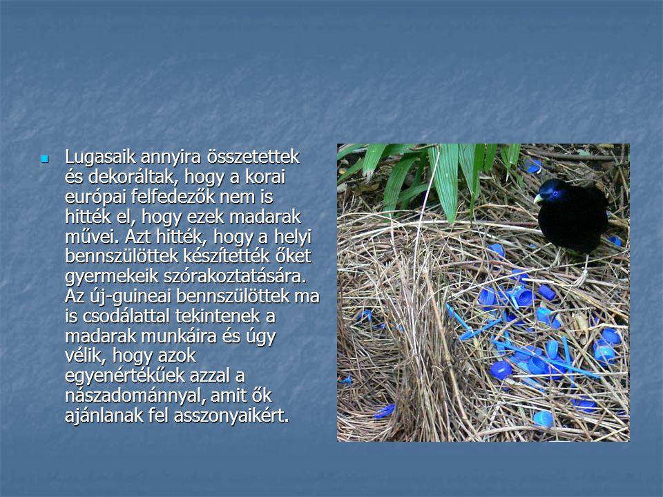 Lugasaik annyira összetettek és dekoráltak, hogy a korai európai felfedezők nem is hitték el, hogy ezek madarak művei. Azt hitték, hogy a helyi bennsz