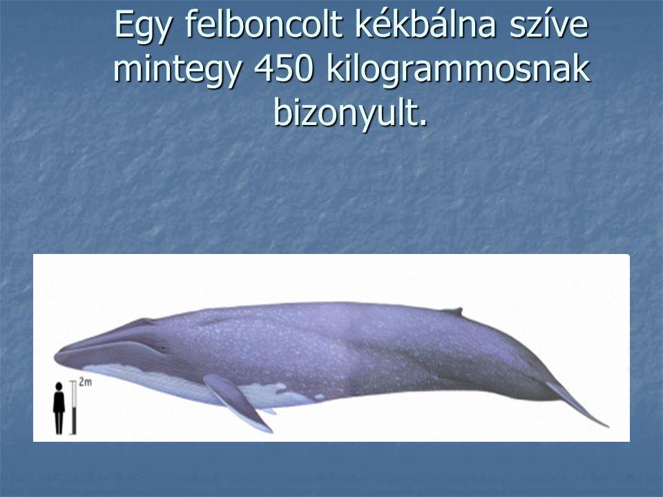 Egy felboncolt kékbálna szíve mintegy 450 kilogrammosnak bizonyult.