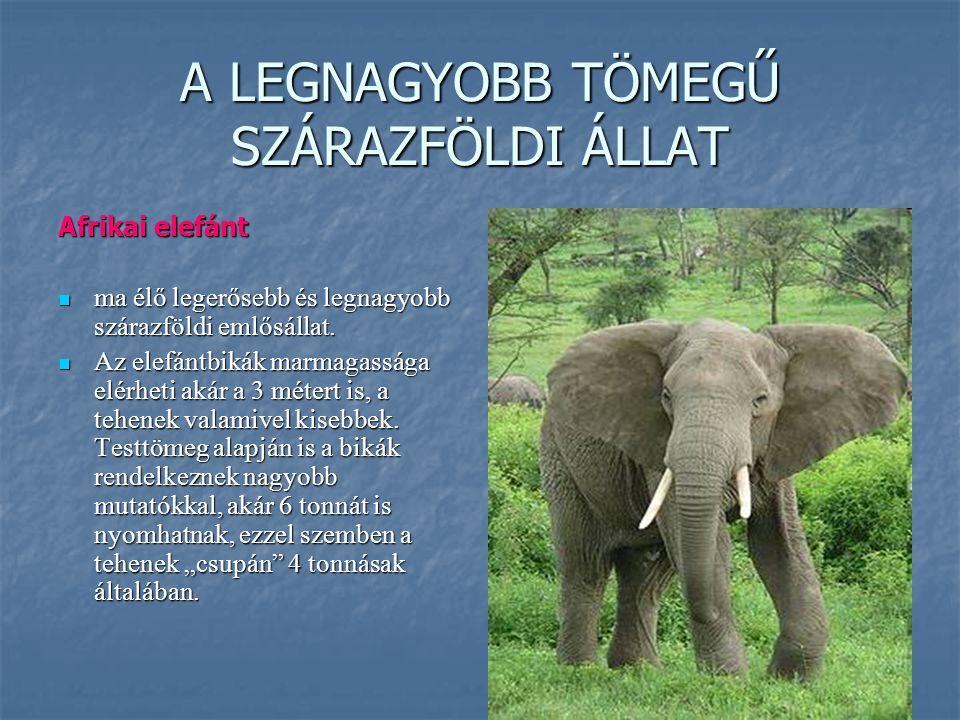 A LEGNAGYOBB TÖMEGŰ SZÁRAZFÖLDI ÁLLAT Afrikai elefánt ma élő legerősebb és legnagyobb szárazföldi emlősállat. ma élő legerősebb és legnagyobb szárazfö
