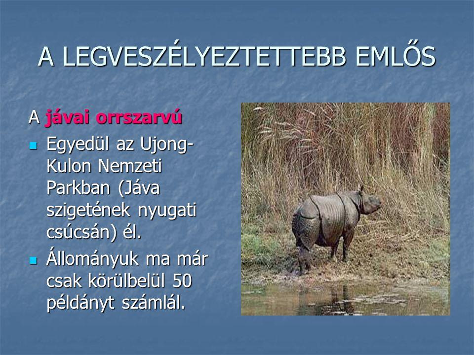 A LEGVESZÉLYEZTETTEBB EMLŐS A jávai orrszarvú Egyedül az Ujong- Kulon Nemzeti Parkban (Jáva szigetének nyugati csúcsán) él. Egyedül az Ujong- Kulon Ne