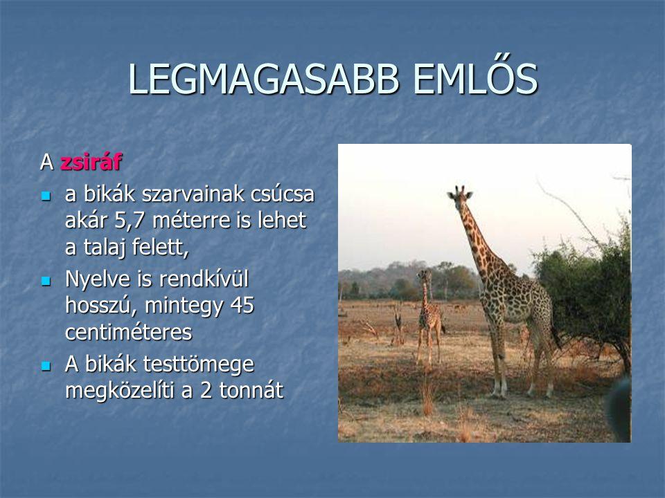 LEGMAGASABB EMLŐS A zsiráf a bikák szarvainak csúcsa akár 5,7 méterre is lehet a talaj felett, a bikák szarvainak csúcsa akár 5,7 méterre is lehet a t