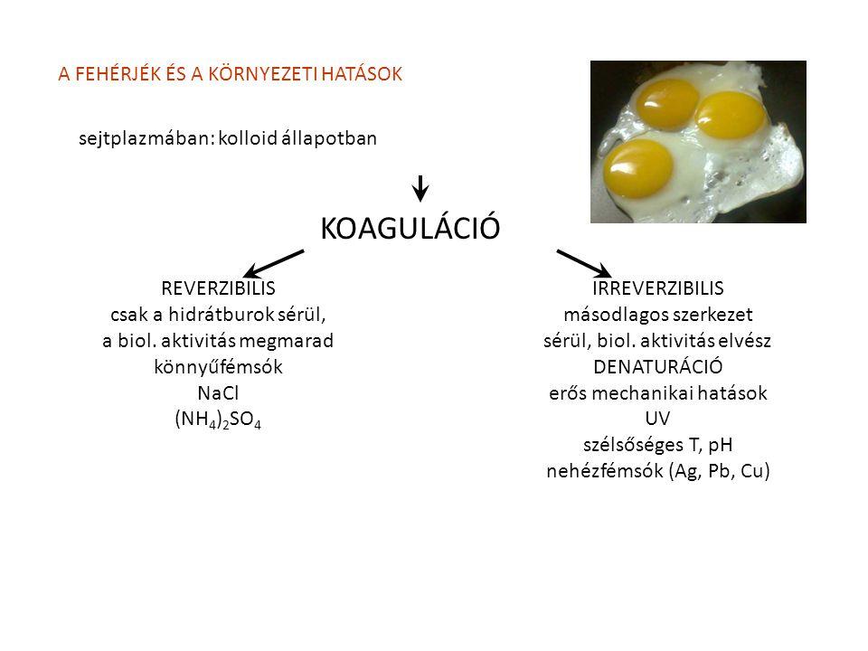 A FEHÉRJÉK ÉS A KÖRNYEZETI HATÁSOK sejtplazmában: kolloid állapotban KOAGULÁCIÓ REVERZIBILIS csak a hidrátburok sérül, a biol. aktivitás megmarad könn