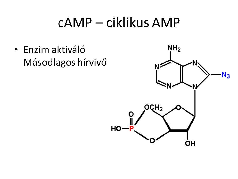 cAMP – ciklikus AMP Enzim aktiváló Másodlagos hírvivő