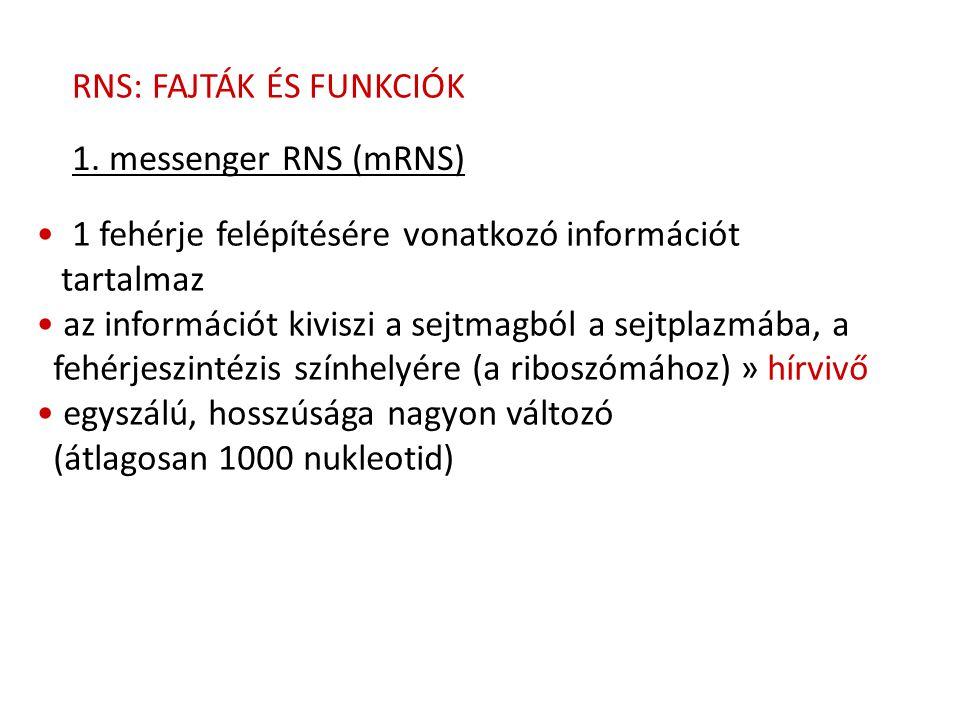 RNS: FAJTÁK ÉS FUNKCIÓK 1. messenger RNS (mRNS) 1 fehérje felépítésére vonatkozó információt tartalmaz az információt kiviszi a sejtmagból a sejtplazm