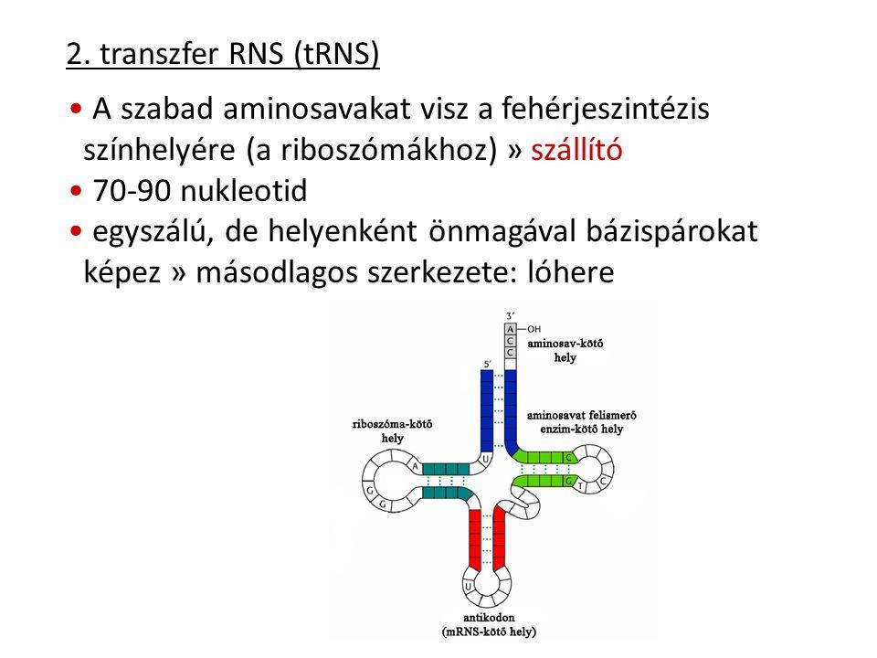 2. transzfer RNS (tRNS) A szabad aminosavakat visz a fehérjeszintézis színhelyére (a riboszómákhoz) » szállító 70-90 nukleotid egyszálú, de helyenként