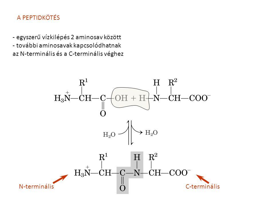 A PEPTIDKÖTÉS - egyszerű vízkilépés 2 aminosav között - további aminosavak kapcsolódhatnak az N-terminális és a C-terminális véghez C-terminálisN-term