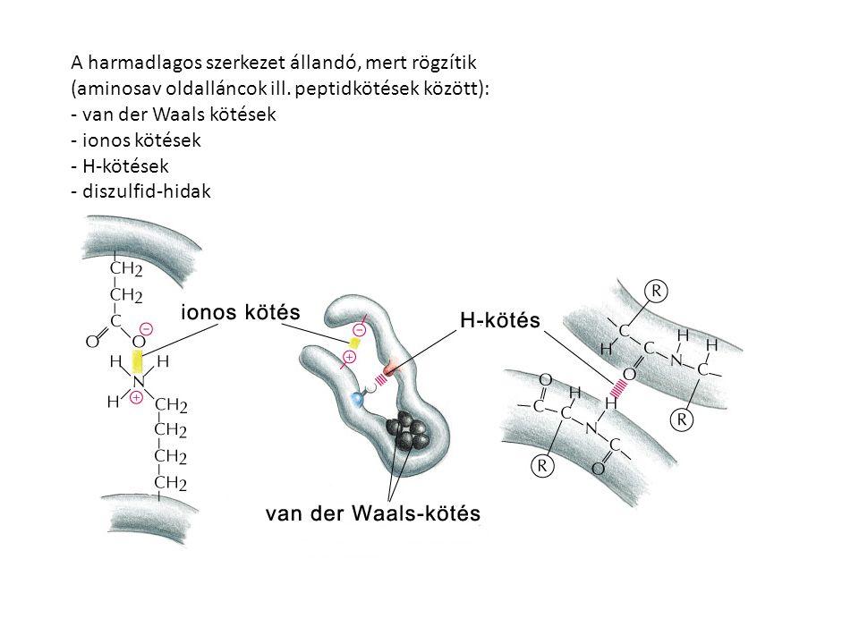 A harmadlagos szerkezet állandó, mert rögzítik (aminosav oldalláncok ill. peptidkötések között): - van der Waals kötések - ionos kötések - H-kötések -
