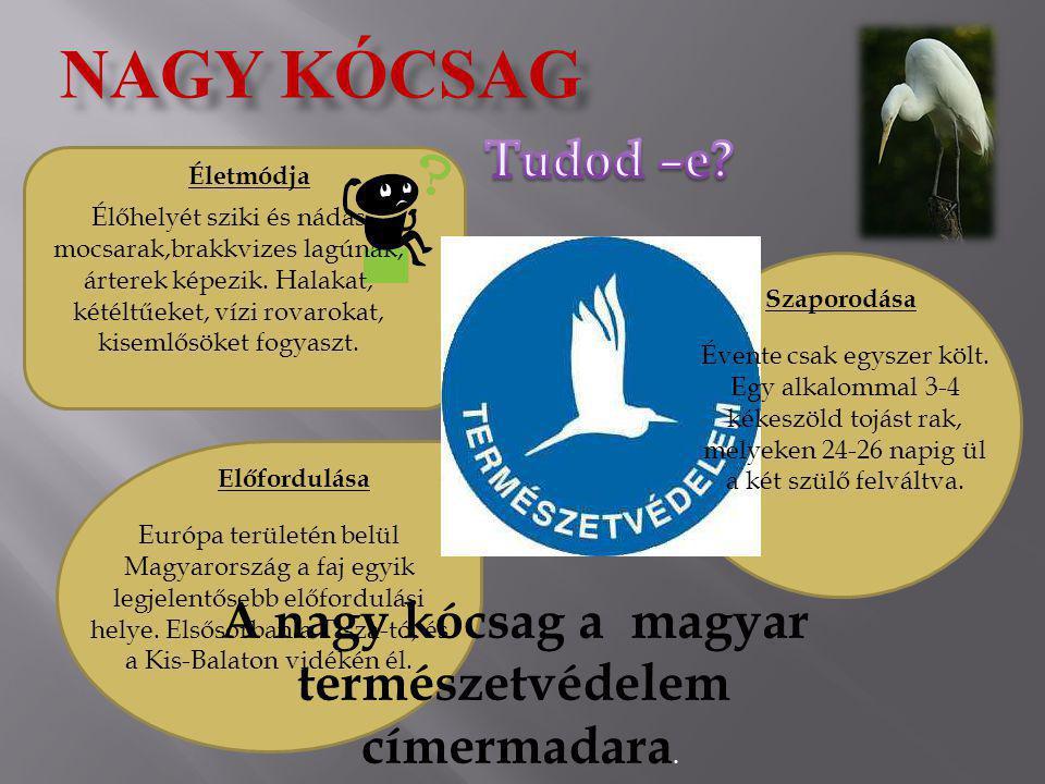 NAGY KÓCSAG Életmódja Szaporodása Előfordulása A nagy kócsag a magyar természetvédelem címermadara. Élőhelyét sziki és nádas mocsarak,brakkvizes lagún