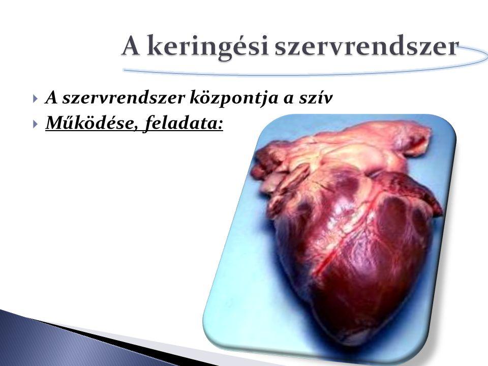  A szervrendszer központja a szív  Működése, feladata:
