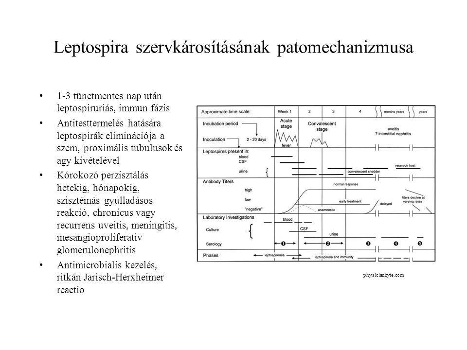 Leptospira szervkárosításának patomechanizmusa 1-3 tünetmentes nap után leptospiruriás, immun fázis Antitesttermelés hatására leptospirák eliminációja