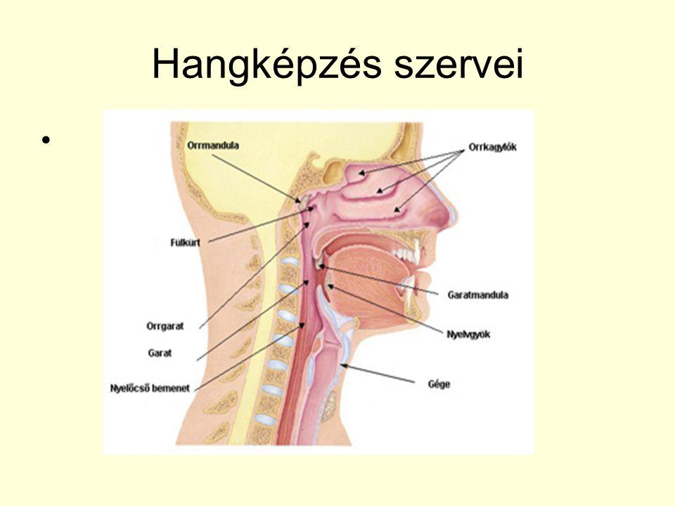 Hangképzés szervei
