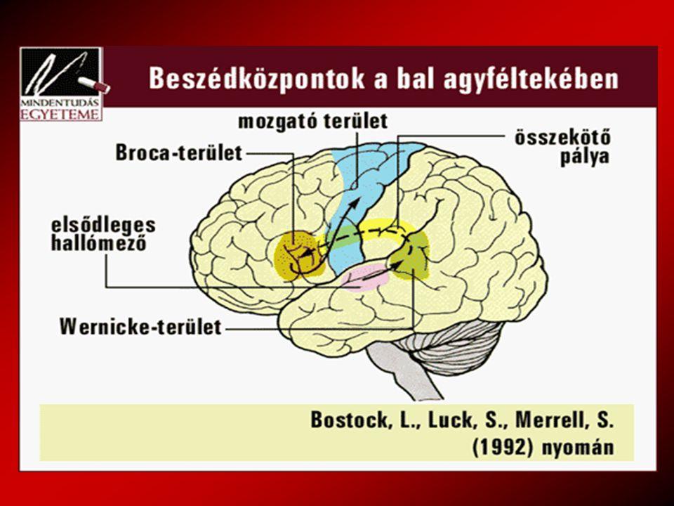 Az agyi aktivitás fokozódása beszéd hallgatása közben Wernicke mező –Szemantikus feldolgozó terület –A bejövő nyelvi információ kezelése –Beszédértéshez szükséges rövid távú memória
