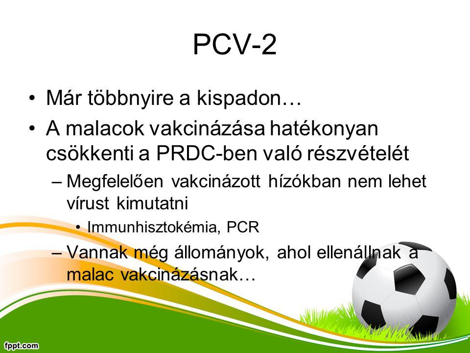 Már többnyire a kispadon… A malacok vakcinázása hatékonyan csökkenti a PRDC-ben való részvételét –Megfelelően vakcinázott hízókban nem lehet vírust ki