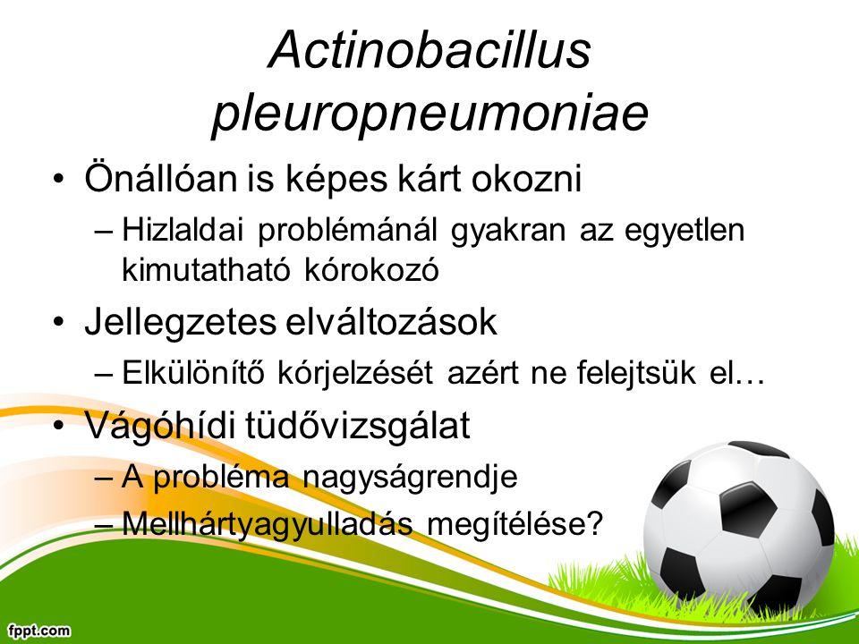 Actinobacillus pleuropneumoniae Önállóan is képes kárt okozni –Hizlaldai problémánál gyakran az egyetlen kimutatható kórokozó Jellegzetes elváltozások –Elkülönítő kórjelzését azért ne felejtsük el… Vágóhídi tüdővizsgálat –A probléma nagyságrendje –Mellhártyagyulladás megítélése?