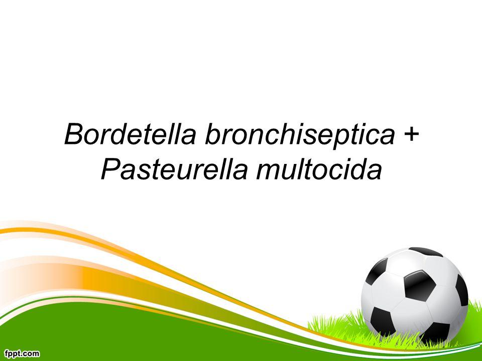 Bordetella bronchiseptica + Pasteurella multocida