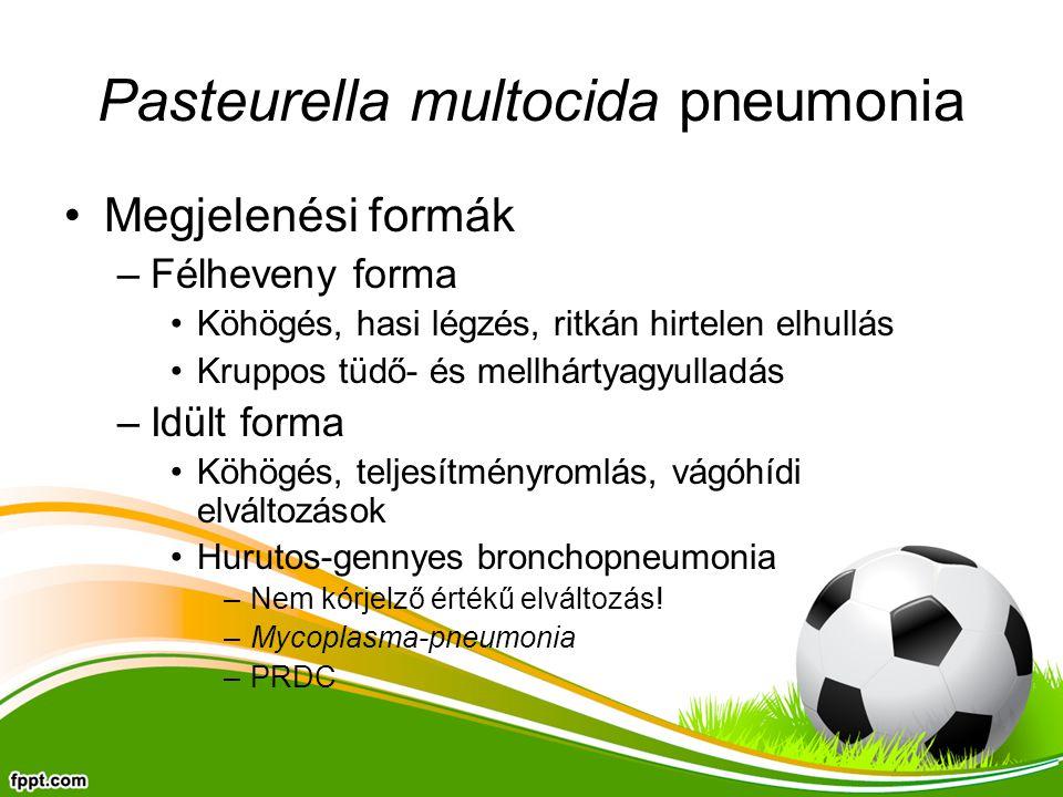 Pasteurella multocida pneumonia Megjelenési formák –Félheveny forma Köhögés, hasi légzés, ritkán hirtelen elhullás Kruppos tüdő- és mellhártyagyulladás –Idült forma Köhögés, teljesítményromlás, vágóhídi elváltozások Hurutos-gennyes bronchopneumonia –Nem kórjelző értékű elváltozás.