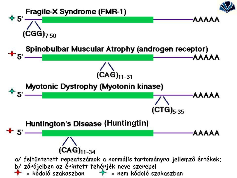 a/ feltüntetett repeatszámok a normális tartományra jellemző értékek; b/ zárójelben az érintett fehérjék neve szerepel (huntingtin) = kódoló szakaszba
