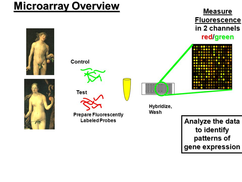 Microarray Overview Prepare Fluorescently Labeled Probes ControlTest Hybridize,Wash MeasureFluorescence in 2 channels red/green Analyze the data to id