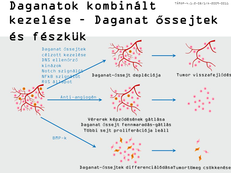 TÁMOP-4.1.2-08/1/A-2009-0011 Daganatok kombinált kezelése – Daganat őssejtek és fészkük Daganat őssejtek célzott kezelése DNS ellenőrző kinázok Notch szignálút NFkB szignálút ROS állapot Tumor visszafejlődése Daganat-őssejt depléciója Anti-angiogén BMP-k Daganat-őssejtek differenciálódása Tumortömeg csökkenése Vérerek képződésének gátlása Daganat őssejt fennmaradás-gátlás Többi sejt proliferációja leáll