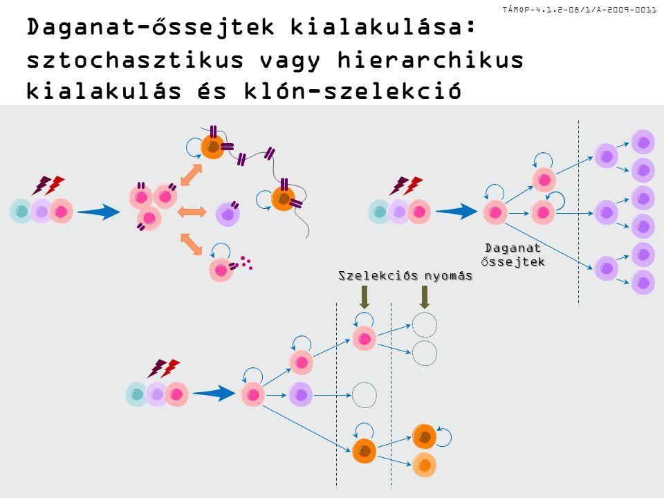 TÁMOP-4.1.2-08/1/A-2009-0011 Daganat-őssejtek kialakulása: sztochasztikus vagy hierarchikus kialakulás és klón-szelekció Daganatőssejtek Szelekciós ny