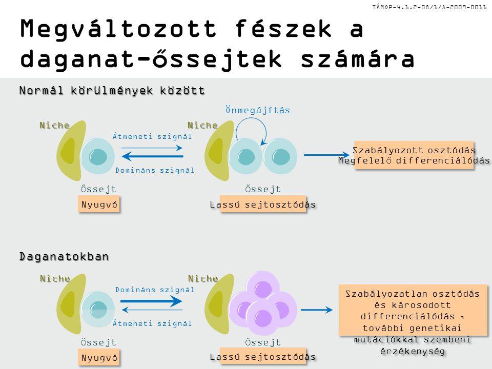 TÁMOP-4.1.2-08/1/A-2009-0011 AML fészek jellemzői Normál HSC (LKS +, CD34, CD150 +, CD48 - ) Károsodott normál HSC fészek funkció A fészek inváziója Citokin (SCF) szekréció Fokozott ön-megújítás Fokozott leukémia őssejt nyugalom Kemoterápia-rezisztencia Szimpatikus idegrendszeri szabályozás Endoszteális szabályzó elemek (oszteoblaszt, oszteoklaszt, csont matrix, oszteopontin, Ca) A hagyományos fészek-függés megszűnése és alternatív fészekbe való áthelyeződés Szabályozatlan megtelepedés CXCR4/CXCR12 interakciók VLA-4 fokozott expressziója Leukemia őssejt (humán CD34 + /CD38 - ; egér lin -, c- kit +, Sca-1 - ) Érett hemopoetikus sejtek (parakrin citokinek) Fokozott citokin válaszkészség Immunfenotípus kialakulása Perivaszkuláris regulátor elemek (endotél, CAR, MSC)