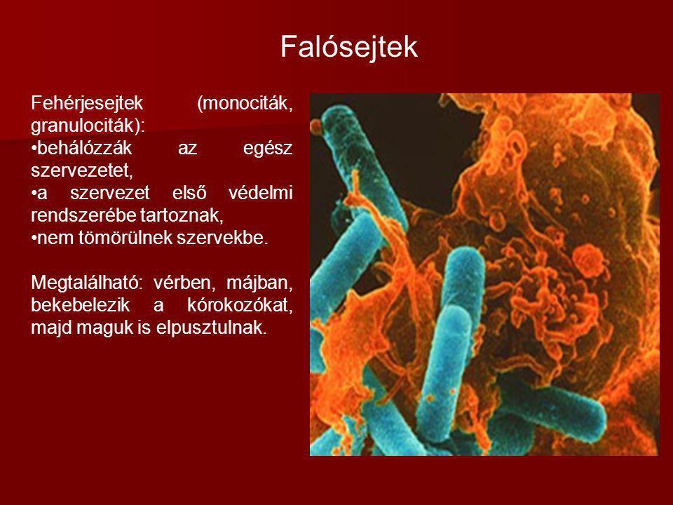 Fehérjesejtek (monociták, granulociták): behálózzák az egész szervezetet, a szervezet első védelmi rendszerébe tartoznak, nem tömörülnek szervekbe. Me