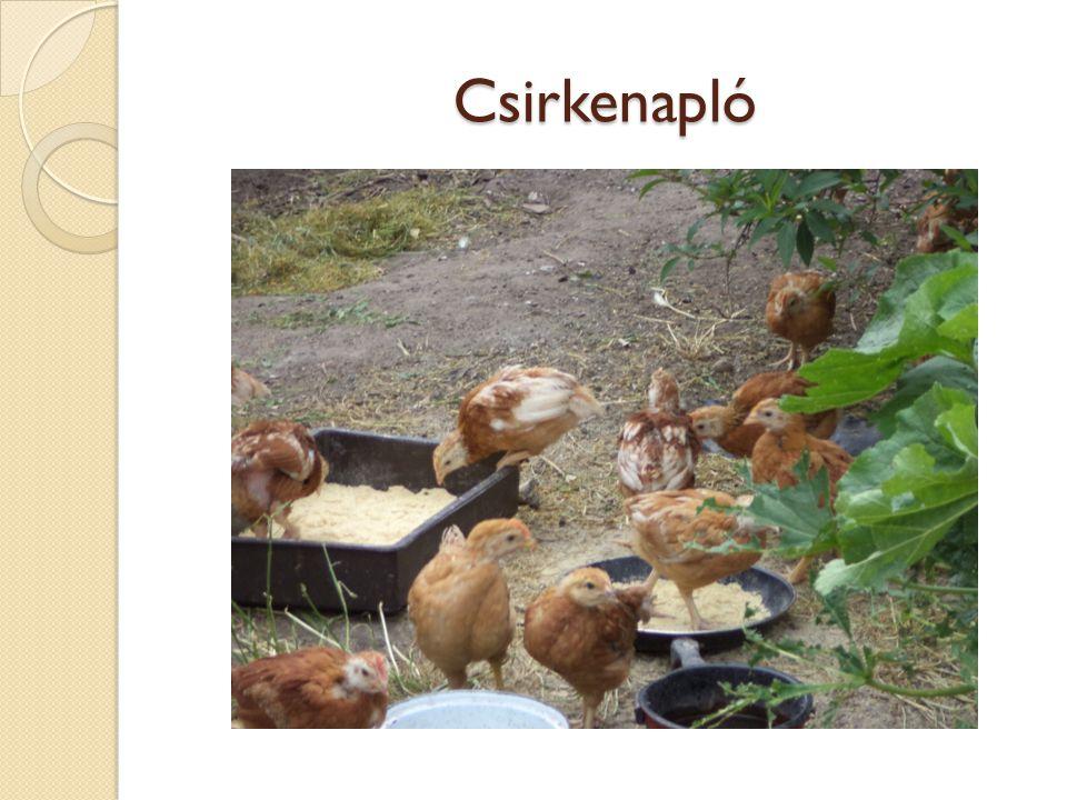 Csirkenapló