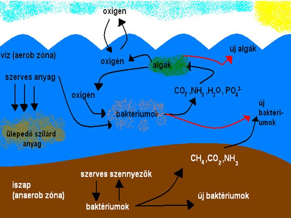 A vizek öntisztulása  A vízbe jutott szennyezést a mikroorganizmusok aerob úton képesek lebontani  erősen szennyezett vizekben az öntisztuló képessé