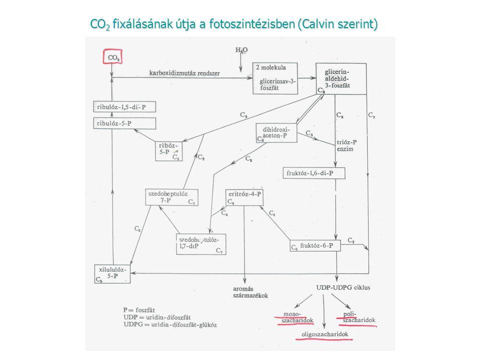 CO 2 fixálásának útja a fotoszintézisben (Calvin szerint)
