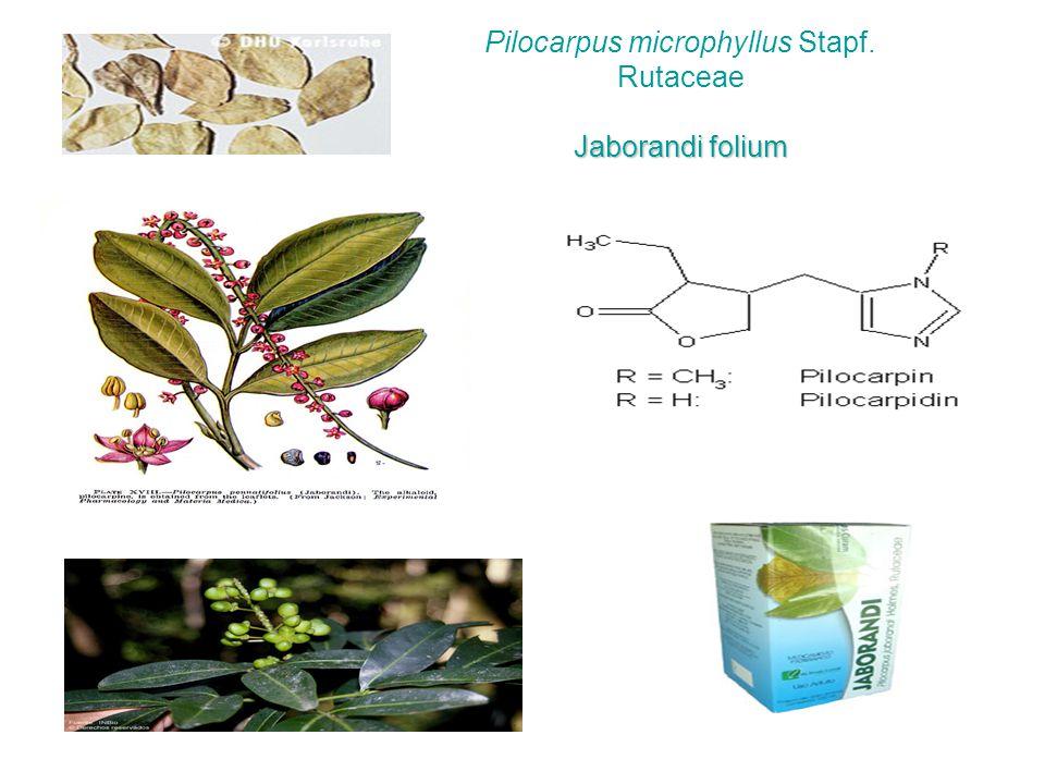 Jaborandi folium Pilocarpus microphyllus Stapf. Rutaceae Jaborandi folium