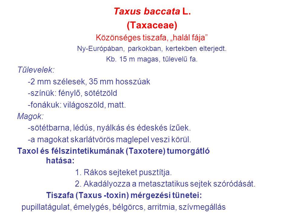 """Taxus baccata L. (Taxaceae) Közönséges tiszafa, """"halál fája"""" Ny-Európában, parkokban, kertekben elterjedt. Kb. 15 m magas, tűlevelű fa. Tűlevelek: -2"""