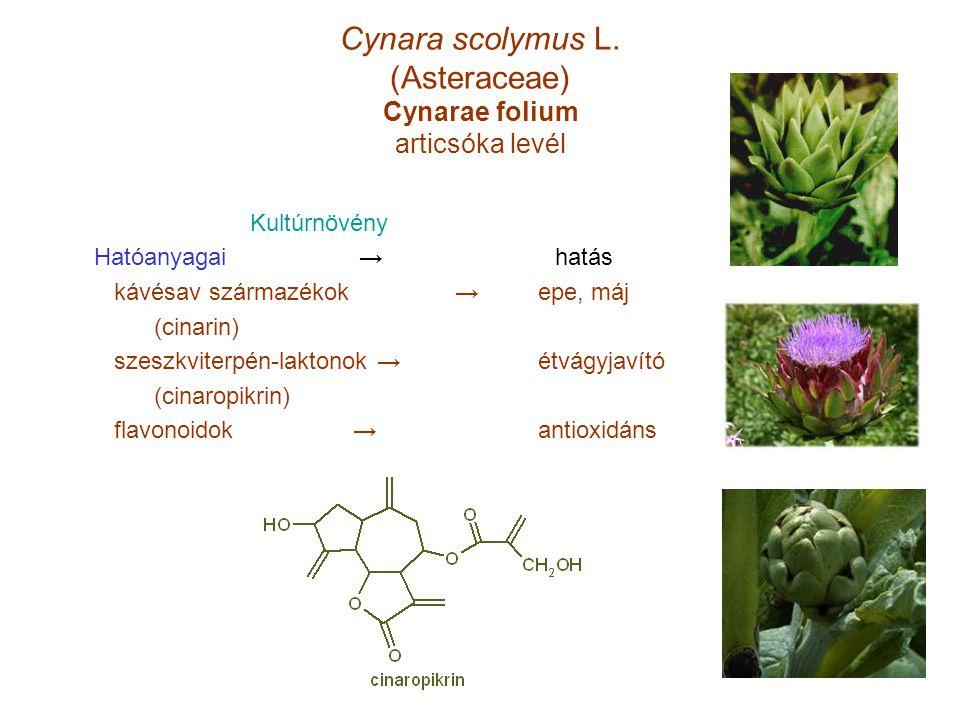 Cynara scolymus L. (Asteraceae) Cynarae folium articsóka levél Kultúrnövény Hatóanyagai → hatás kávésav származékok → epe, máj (cinarin) szeszkviterpé
