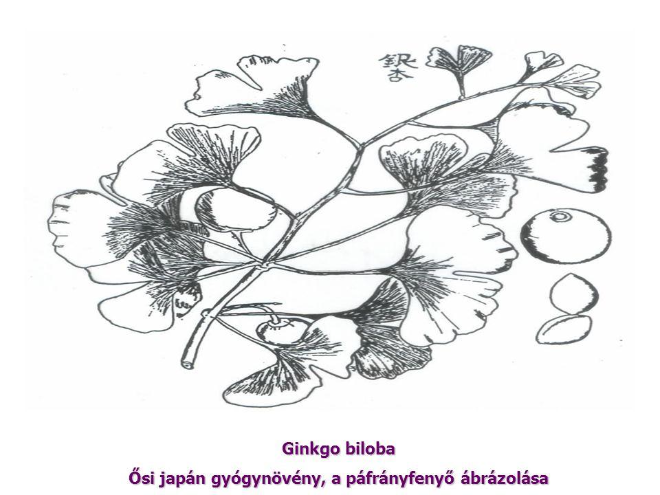 Ginkgo biloba Ősi japán gyógynövény, a páfrányfenyő ábrázolása