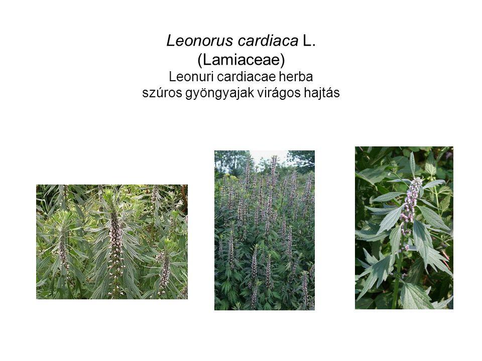 Leonorus cardiaca L. (Lamiaceae) Leonuri cardiacae herba szúros gyöngyajak virágos hajtás