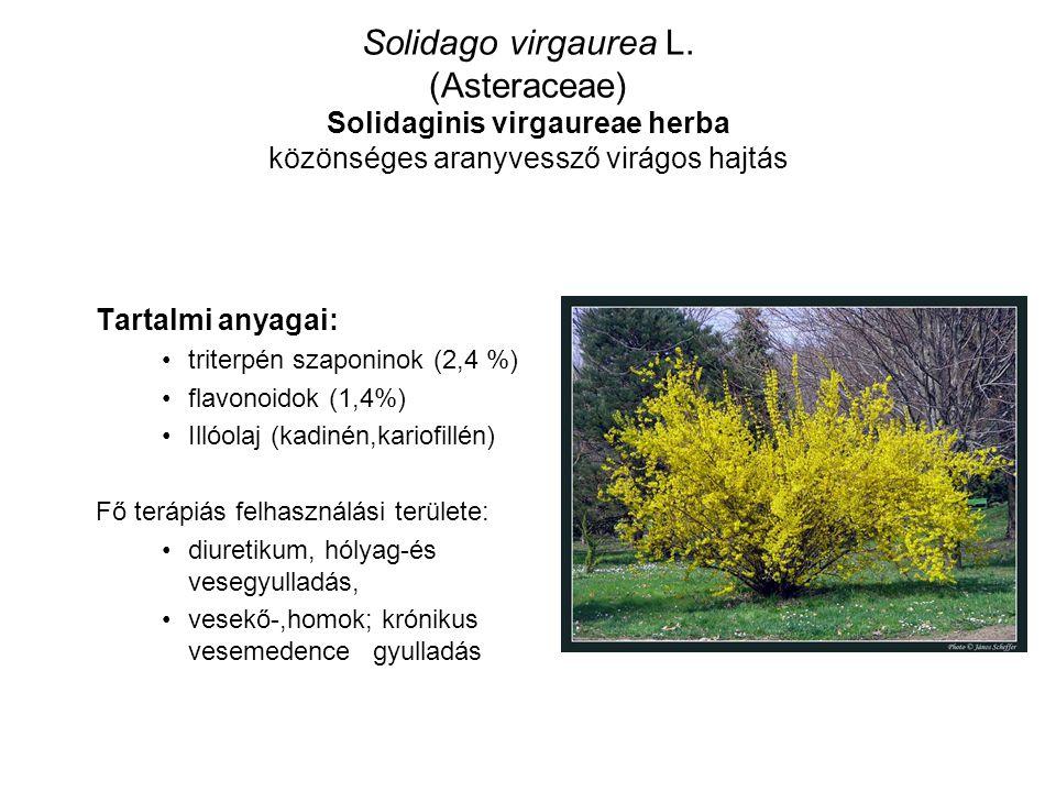 Solidago virgaurea L. (Asteraceae) Solidaginis virgaureae herba közönséges aranyvessző virágos hajtás Tartalmi anyagai: triterpén szaponinok (2,4 %) f