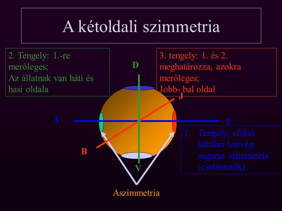 A kétoldali szimmetria