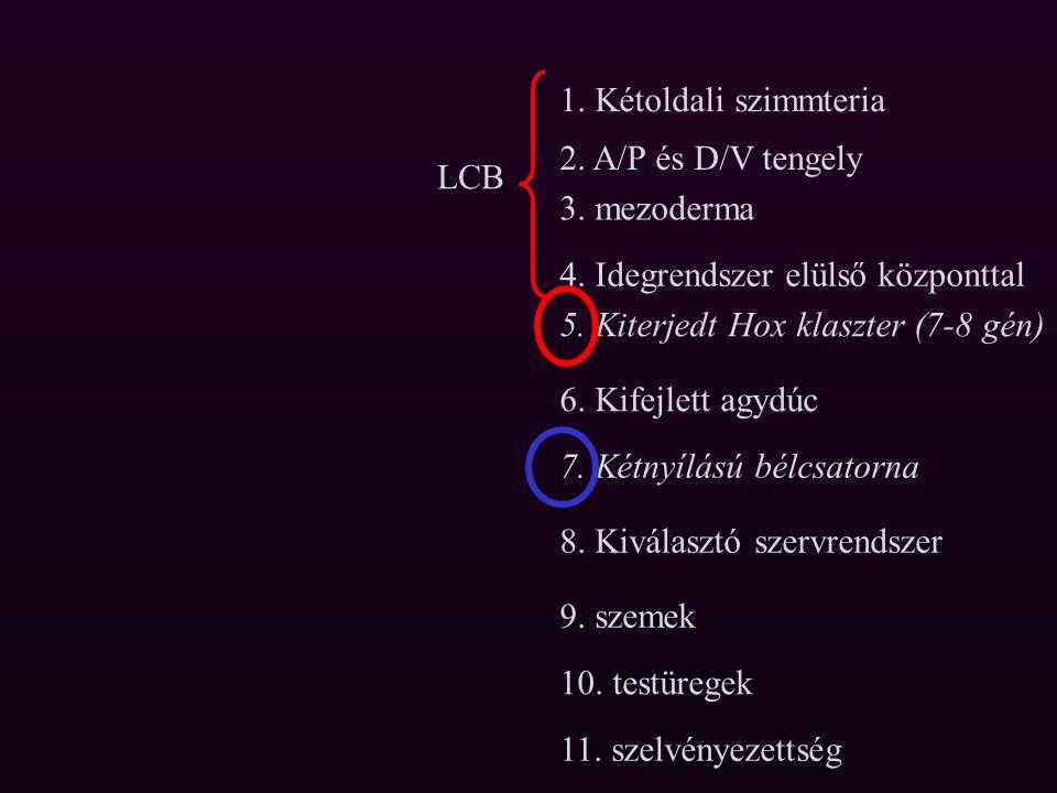 A Lophotrochozoa csoportra jellemző a kétnyílású bélcsatorna, csak a laposférgekre nem Tehát a laposférgek egyszerűbb felépítése nem ősi, hanem egyszerűsödés, redukció következménye (?)
