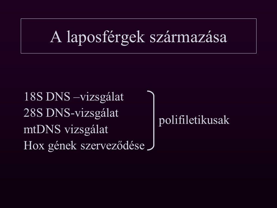 10 Hox gén A laposférgek származása 4 Hox gén, ellentétben a többi laposféreggel.