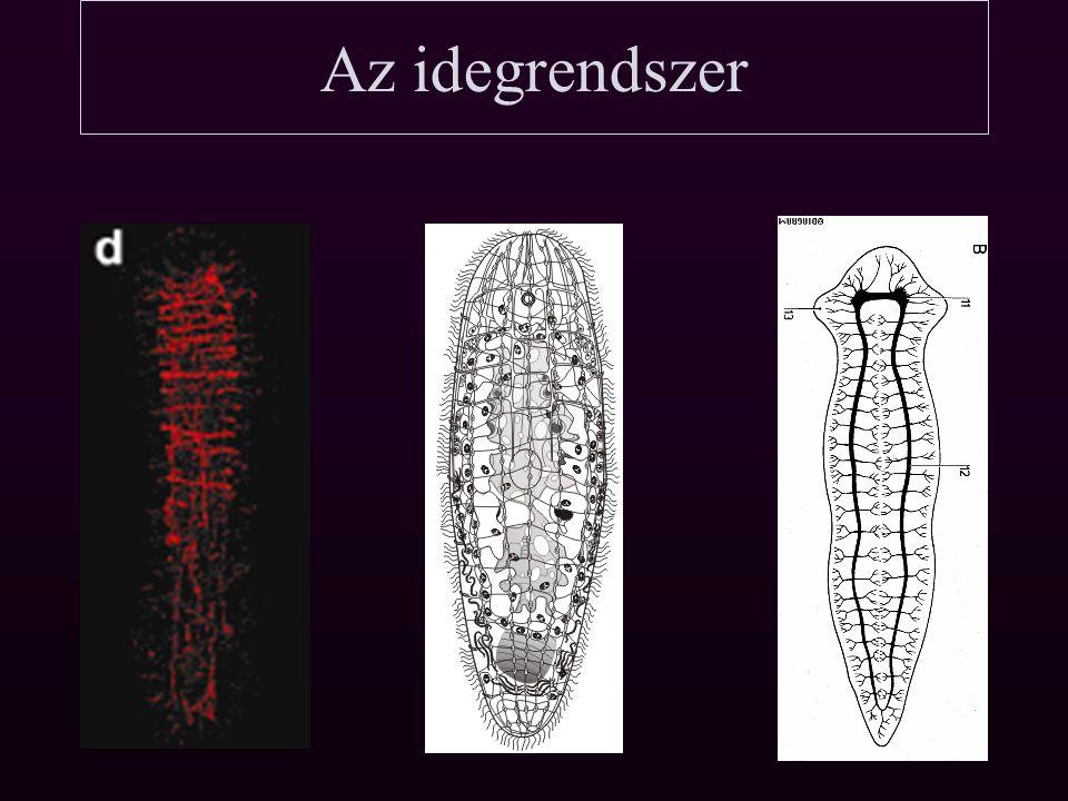 Az Acoelomorphák és a csalánozók Az Acoelomorphák sok tekintetben hasonlóak a csalánozók planula lárvájához -Bélcsatorna nincs -Idegrendszer radiális -Kiválasztó szervek (protonefrídium) hiánya -Hox gének alacsony száma -Diopisthoporidae (Acoelomata csoport) szájnyílása a testvégen