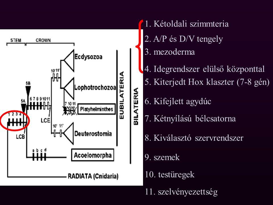 Az Acoelomorphák és a csalánozók A planula lárva radiálisan szimmetrikus Helytülővé vált Második testtengely Bilaterális szimmetria