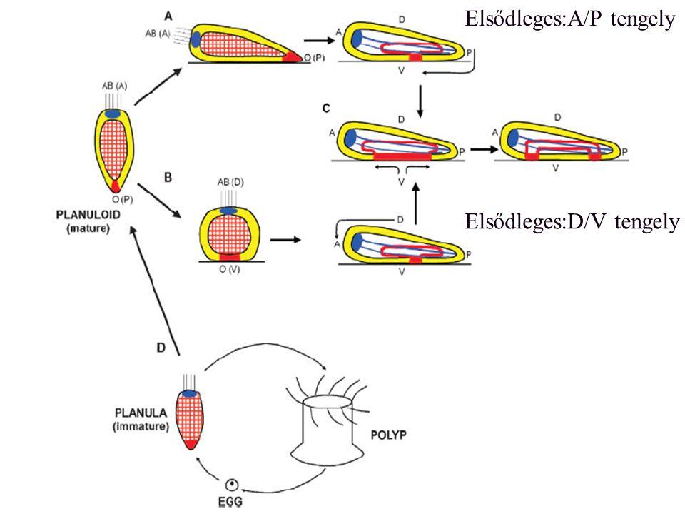 A bilaterális szimmetria genetikai háttere A P D V B J Hox gének decapentaplegic (dpp)