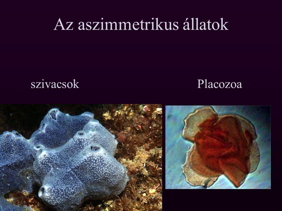 Subr.Eumetazoa Tagozat: Radiata I. Superph.: Coelenterata Ph.: Cnidaria Ph.