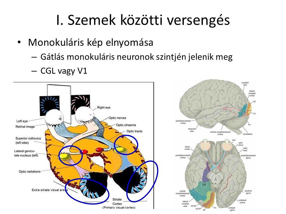 I. Szemek közötti versengés Monokuláris kép elnyomása – Gátlás monokuláris neuronok szintjén jelenik meg – CGL vagy V1