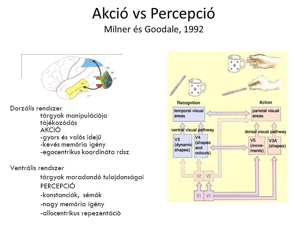 Akció vs Percepció Milner és Goodale, 1992 Dorzális rendszer tárgyak manipulációja tájékozódás AKCIÓ -gyors és valós idejű -kevés memória igény -egocentrikus koordináta rdsz Ventrális rendszer tárgyak maradandó tulajdonságai PERCEPCIÓ -konstanciák, sémák -nagy memória igény -allocentrikus repezentáció